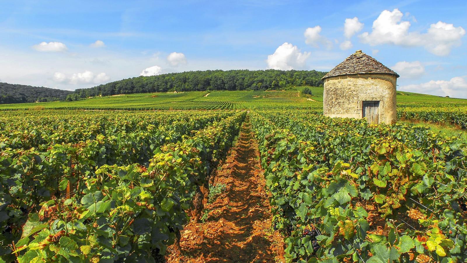 Cabotte dans le vignoble de Beaune