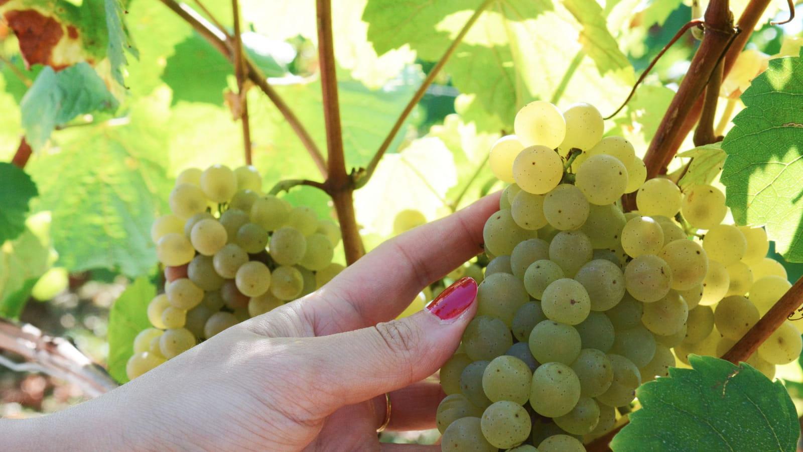 Belle grappe de raisins blancs dans les vignes