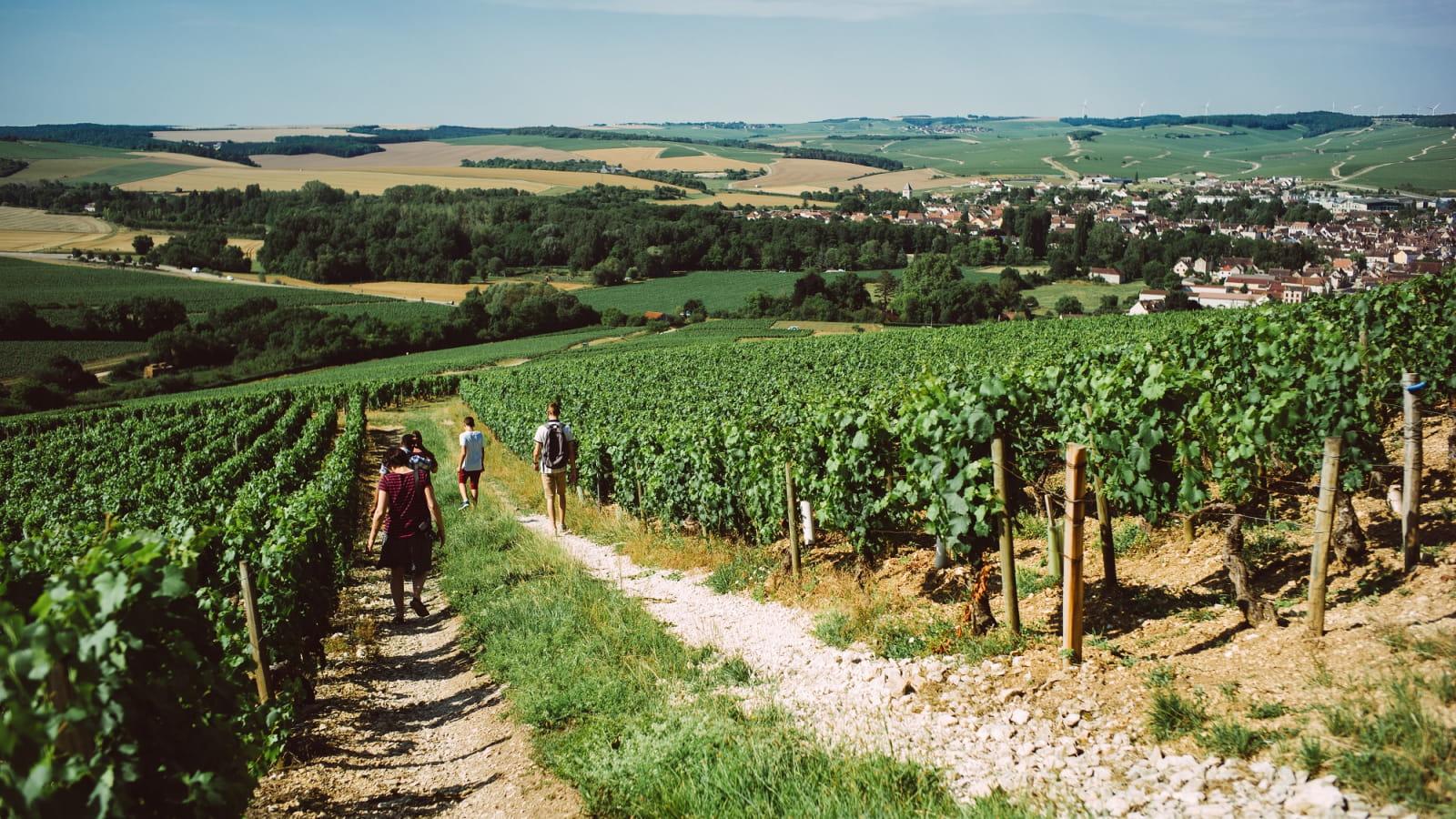 Balade au coeur du vignoble de Chablis