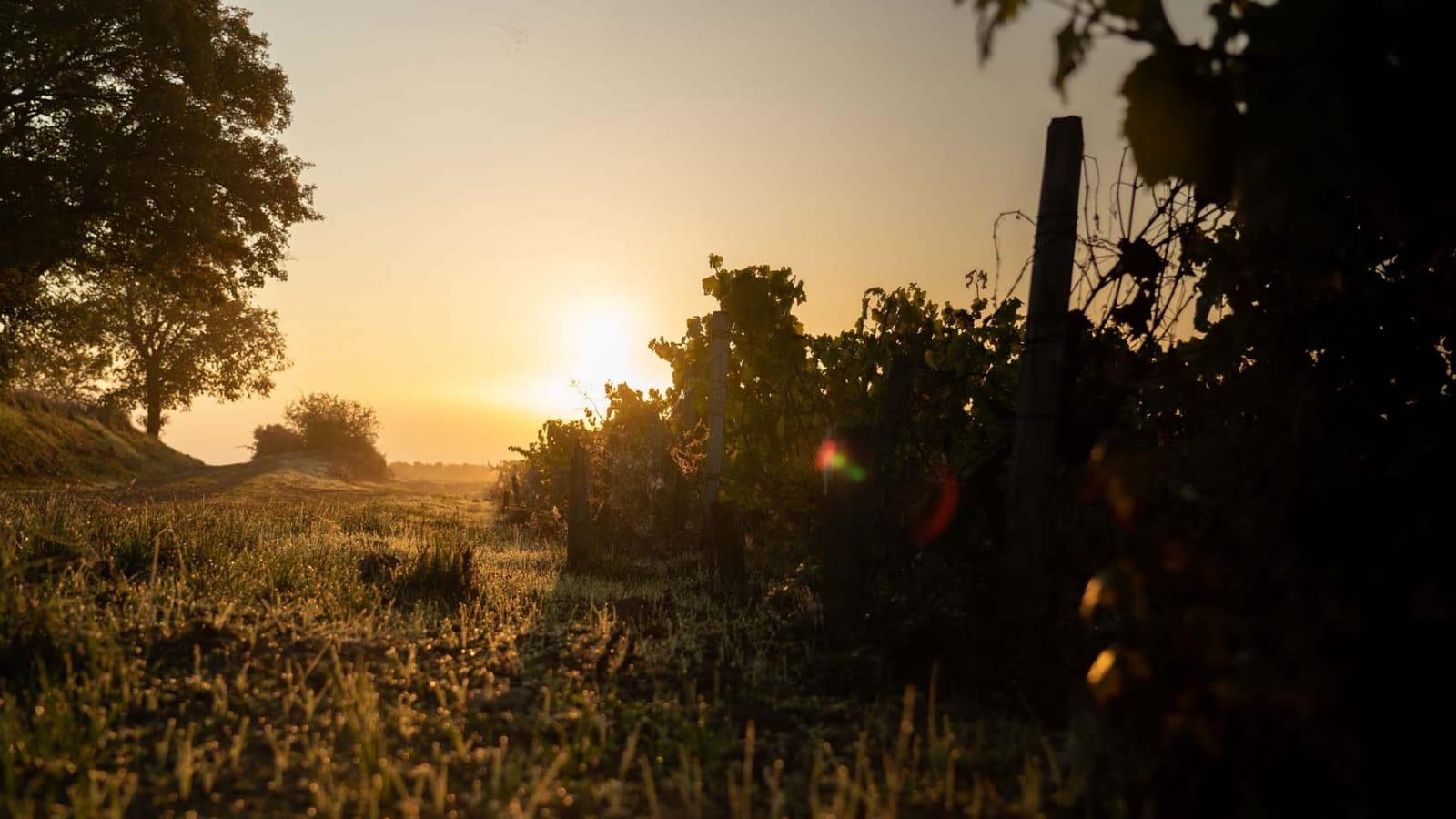 Lever de soleil sur une parcelle de vignes